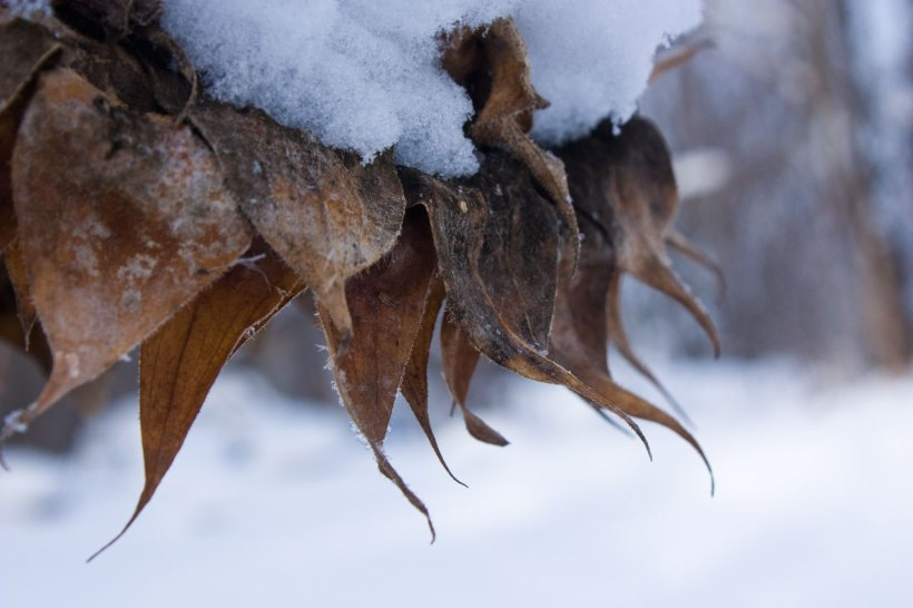 wintersunflower3