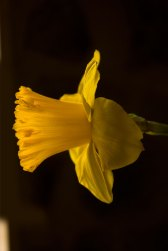 YellowDaffodil2