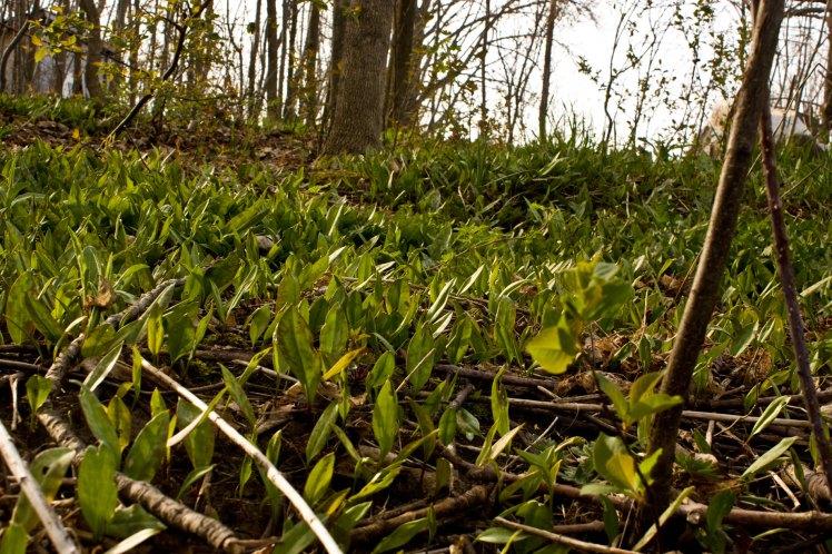 carpet of trout lillies