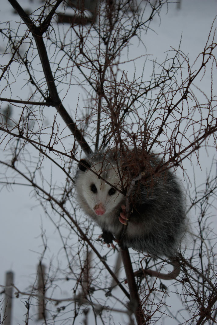The opossum who appeared at our house on New Year's Eve - on a walkabout from Virginia perhaps?  He didn't stick around in any case...