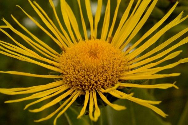Jerusalem Artichoke flower, which reminds me of... me.