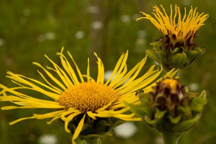 Artichoke_flowers