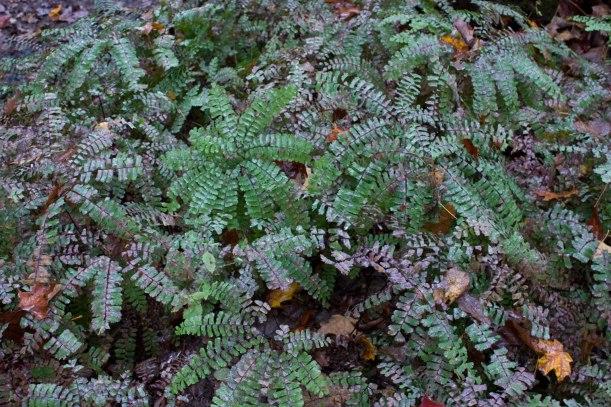 Autumn ferns on the Bruce Trail, September.