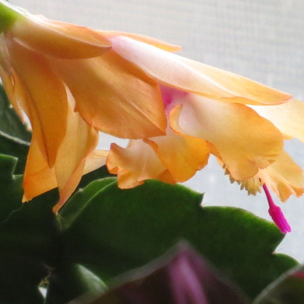 a yellow christmas cactus that I raised from a wee thing.  Blooming like mad in my eastern window...