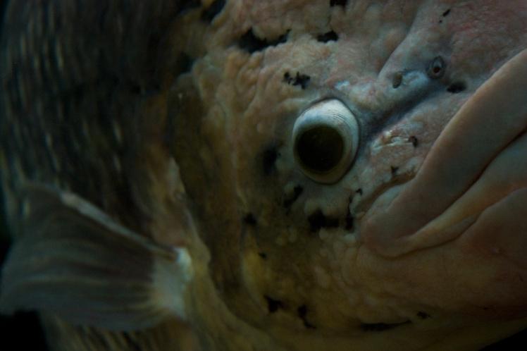 FishBighead2