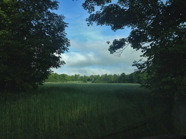 A field of oats on off the sideroad where I drank my morning coffee