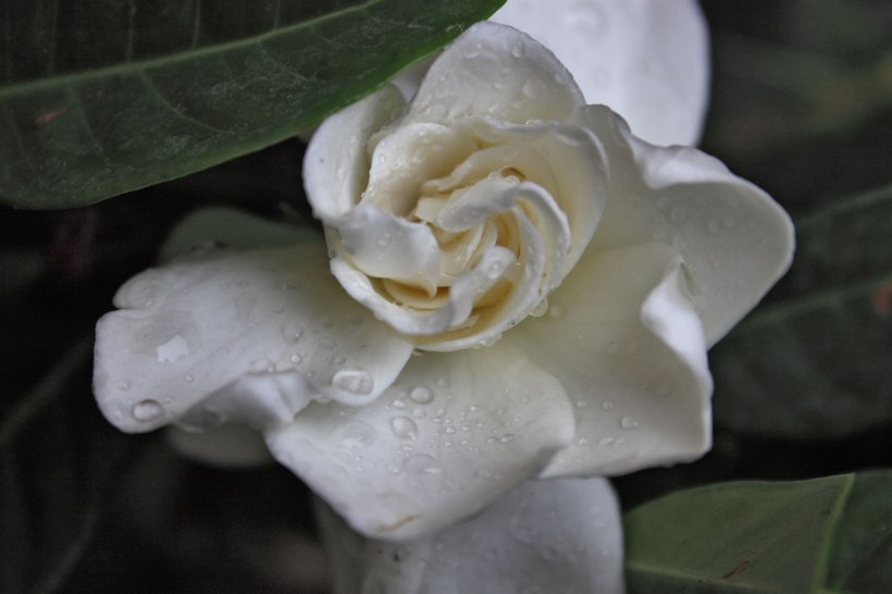 gardenia in my garden