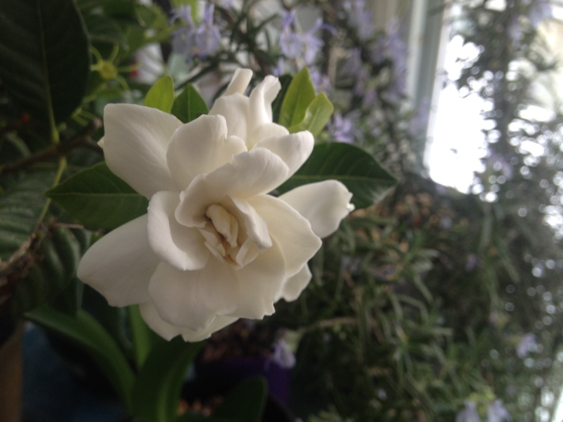 by way of contrast - this is my very real gardenia at home - blooming happily under the plant light, perfuming the room